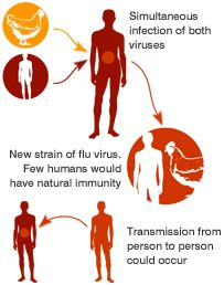 Possible mutation of the bird flu virus