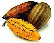 Venezuelan cacao pods