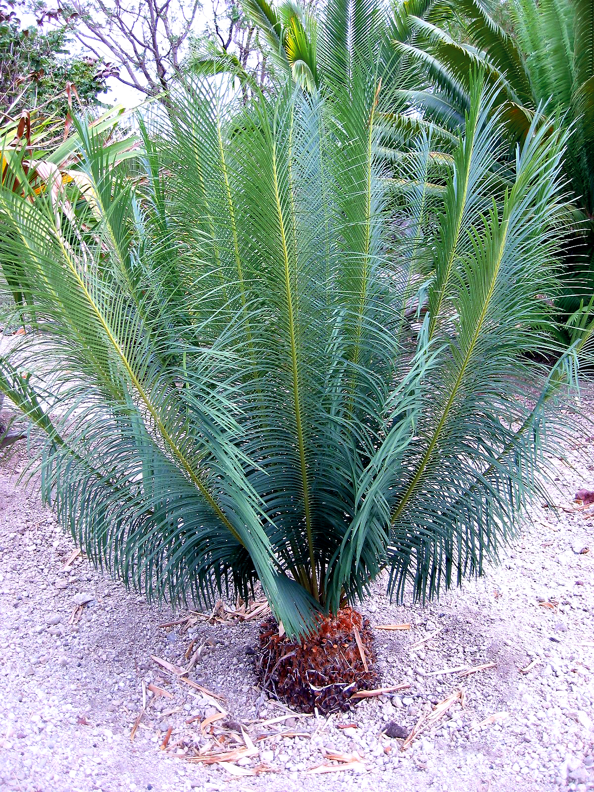 cycas panzhihuaensis cycas species. Black Bedroom Furniture Sets. Home Design Ideas