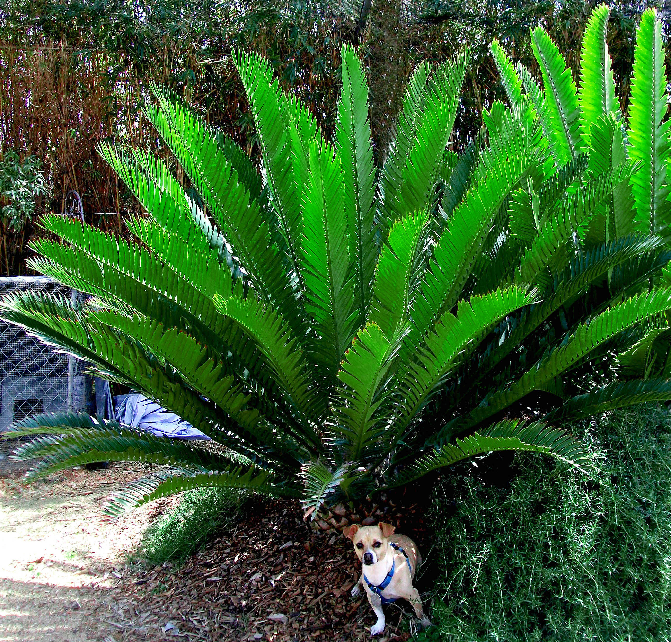 Cycad Definition What Is