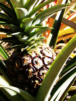 Bromelain Source
