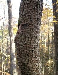 Cornel Fruit / Dogwood Bark