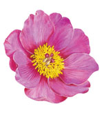 Round Placemats Peony