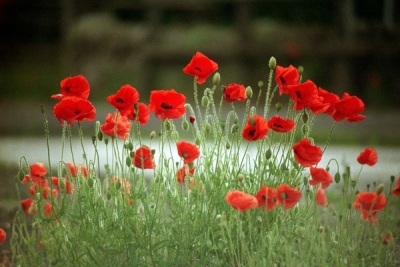 Photograph of red poppies in bloom
