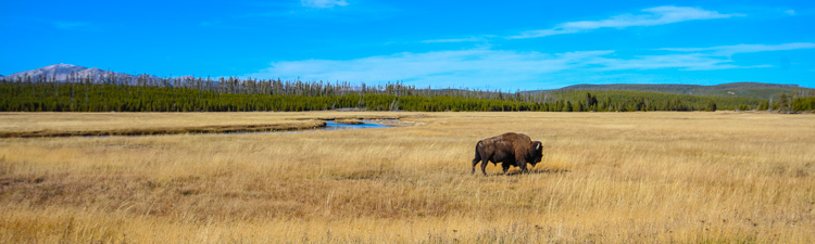 Roaming Yellowstone Bison