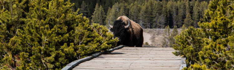 Yellowstone boardwalk bison