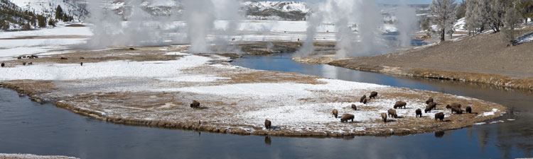 Yellowstone bisons on geyser basin