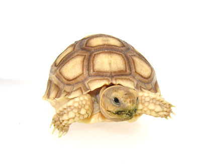 Baby Sulcata Tortoise for Adoption