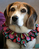 Cappi - Canine Consultant  Resident Beagle